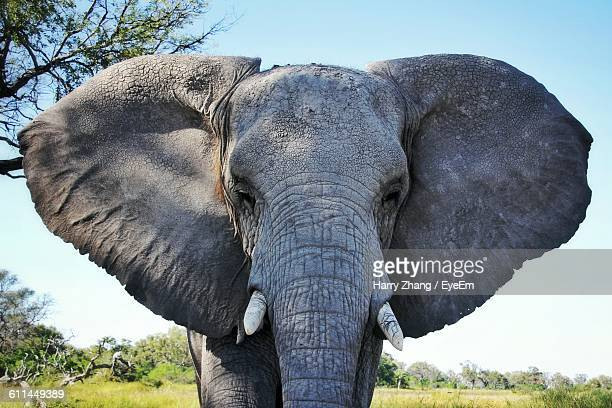 close-up of an african elephant - elephant head stock-fotos und bilder