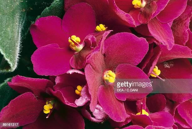 Closeup of an African violet flower