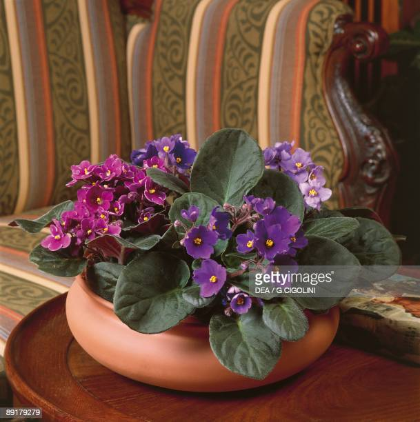 Closeup of an African violet plant