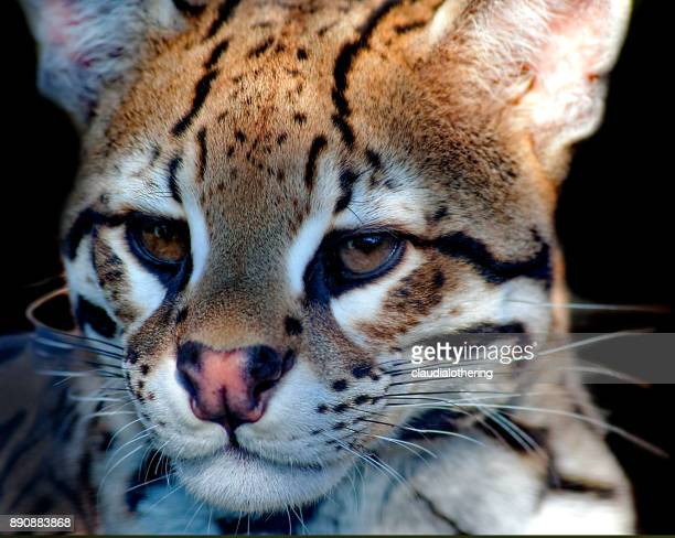 close-up of an african wild cat, mpumalanga, south africa - asiatische wildkatze stock-fotos und bilder