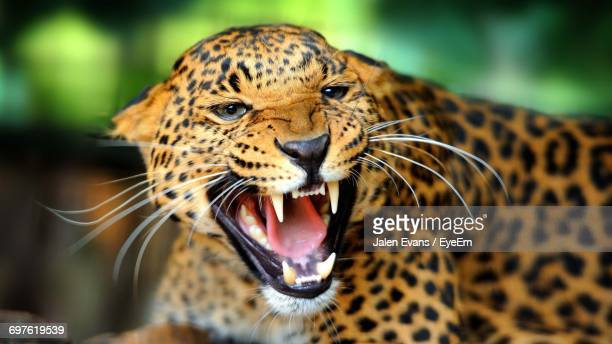 close-up of an aggressive jaguar - jaguar stock photos and pictures