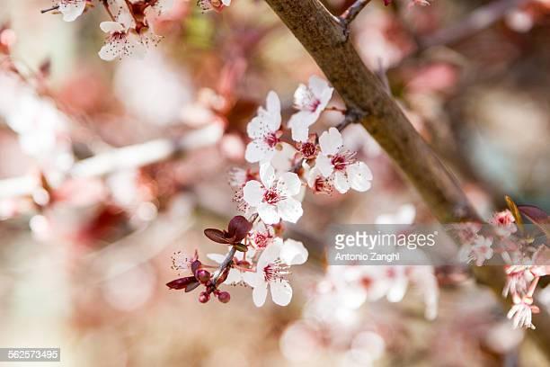 A closeup of an almond tree