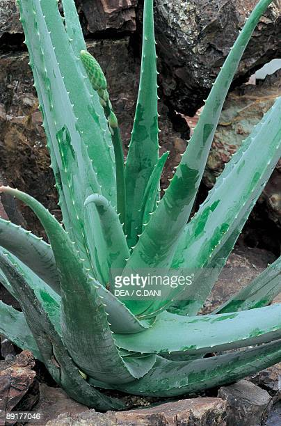 Closeup of an Aloe Barbadensis Miller plant