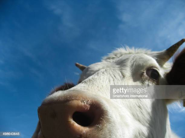 Closeup of an Alpine cow with blue sky background