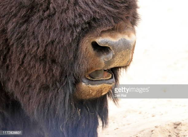 close-up of an american bison's nose and open mouth showing tongue and abraded teeth - manly wilder stock-fotos und bilder