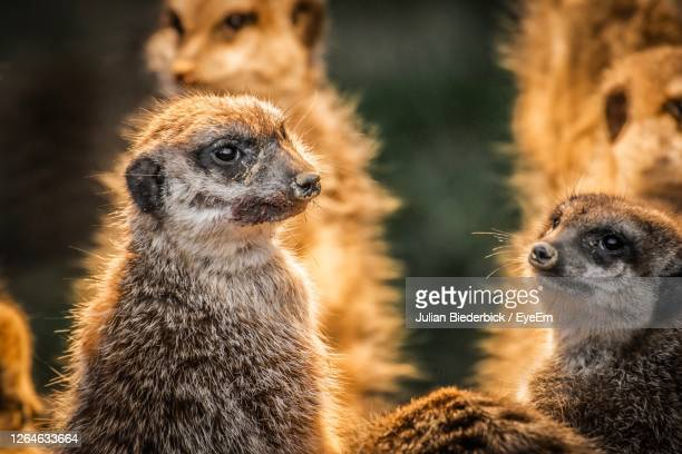 close-up of an animal looking away - meerkat stock pictures, royalty-free photos & images