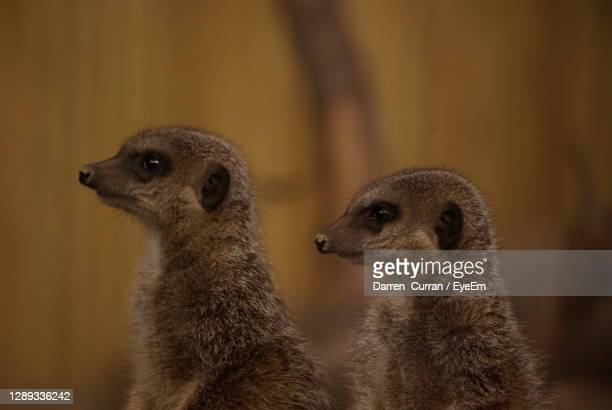 close-up of an animal meerkat - curran stock pictures, royalty-free photos & images