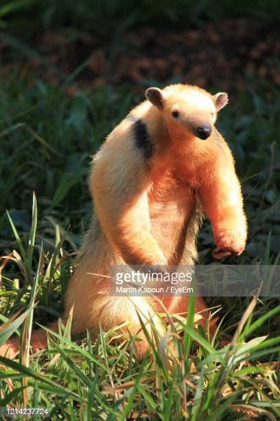 close-up of an animal on field - anteater stock pictures, royalty-free photos & images