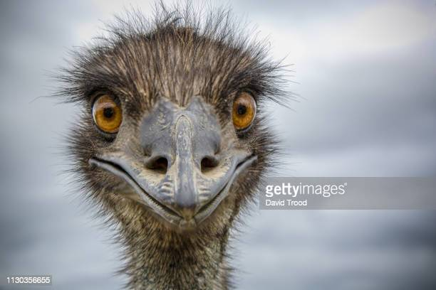 close-up of an australian emu - snavel stockfoto's en -beelden