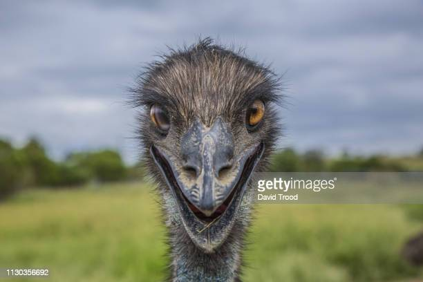 close-up of an australian emu - ugly face stock photos and pictures