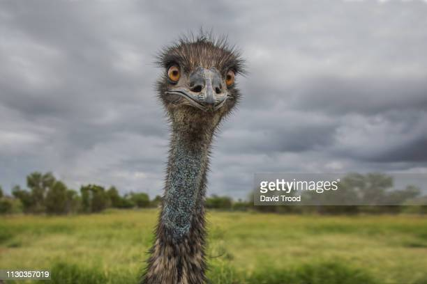 Close-Up of an Australian Emu