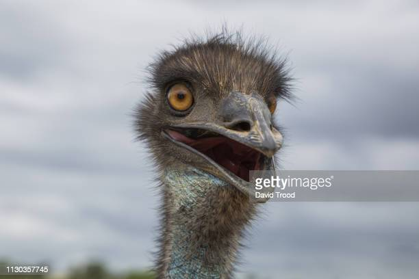 close-up of an australian emu - beak stock pictures, royalty-free photos & images