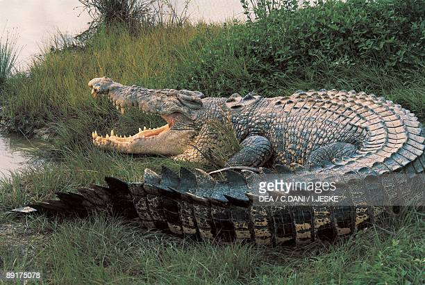 Closeup of an Australian saltwater crocodile Kakadu National Park Australia