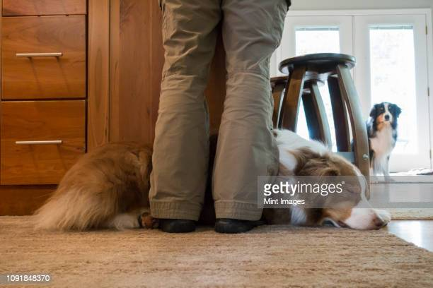 closeup of an australian shephard laying at the feet of his owner.  his brother is in the background. - pastore australiano foto e immagini stock