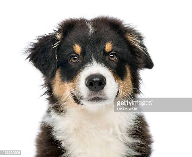 close-up of an australian shepherd - australian shepherd puppies stock pictures, royalty-free photos & images