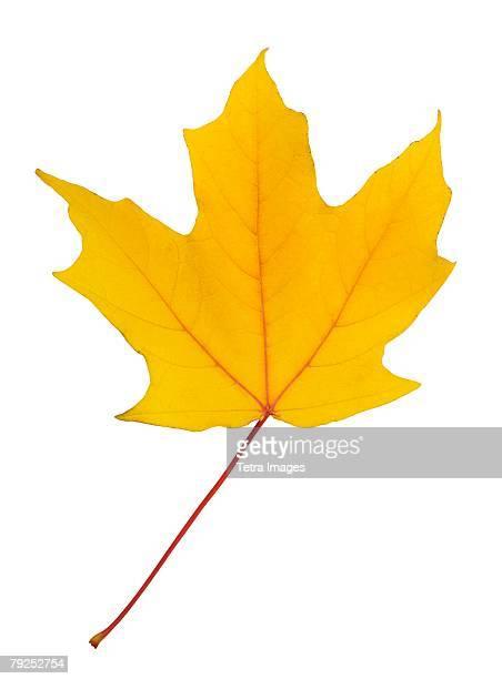 Closeup of an autumn leaf