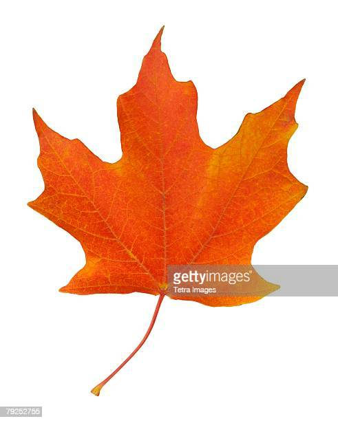 closeup of an autumn leaf - maple leaf stock pictures, royalty-free photos & images
