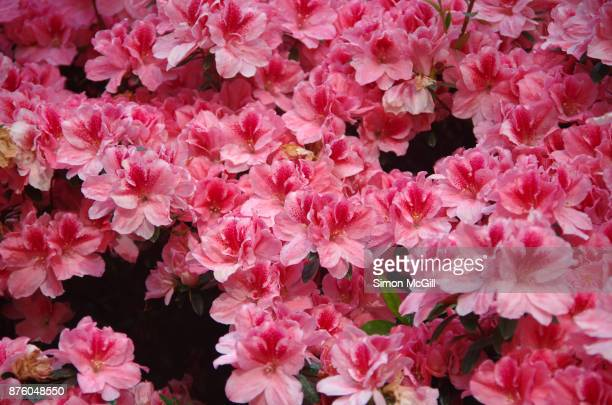 close-up of an azalea bush in bloom - azalea stock pictures, royalty-free photos & images
