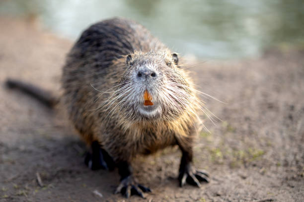 Close-Up Of An Coypu Nutria, A Rodent Animal On Waterside
