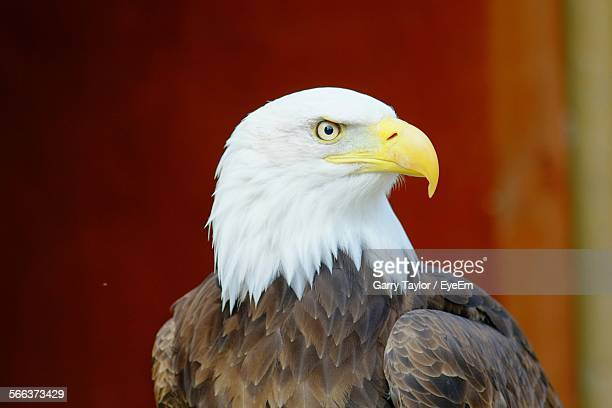 Close-Up Of An Eagle Looking Away