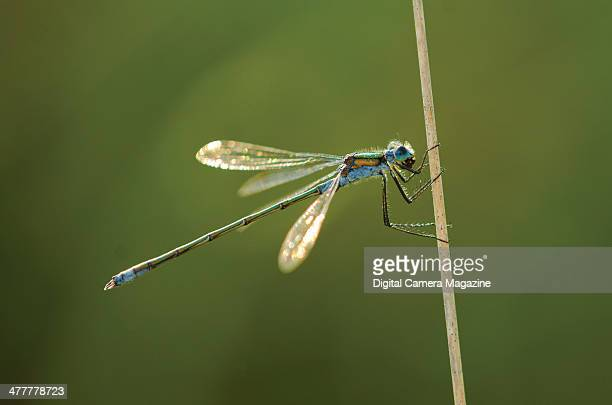 Closeup of an Emerald Damselfly on a reed taken on August 18 2012