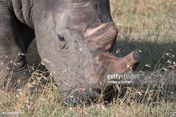Closeup of an endangered white rhinoceros or squarelipped rhinoceros with the keratin of the horn removed to prevent poaching at the Ol Pejeta...