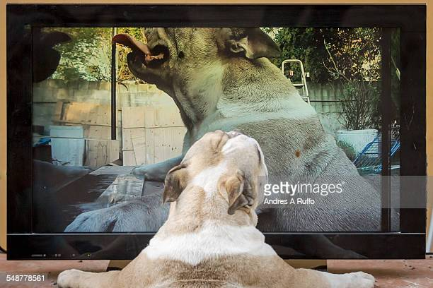Closeup of an English bulldog pet animal dog breed white and brown watching a 42inch LCD TV with its reflection in live with rear view isolated