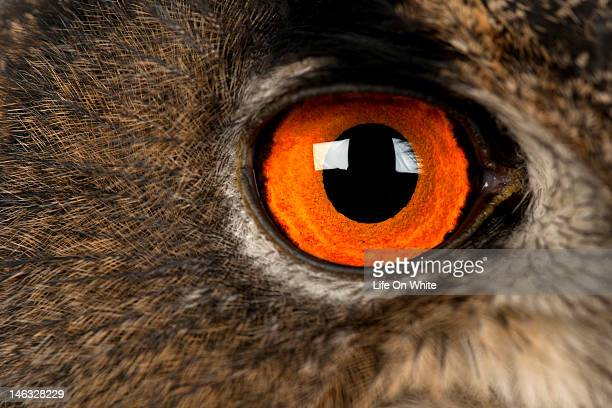 Close-up of an Eurasian Eagle Owl eye