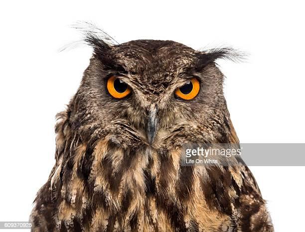 Close-up of an Eurasian eagle-owl