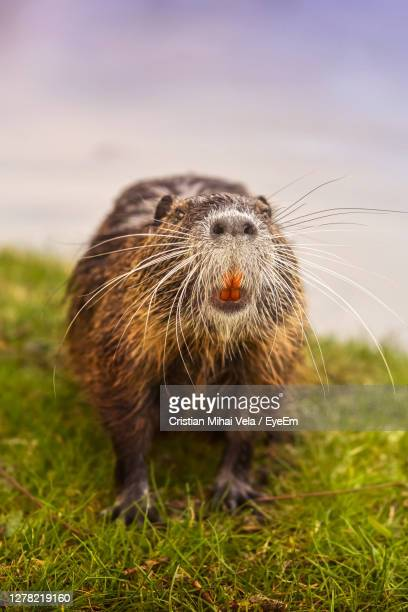 close-up of an european beaver on grass - eurasia stock pictures, royalty-free photos & images