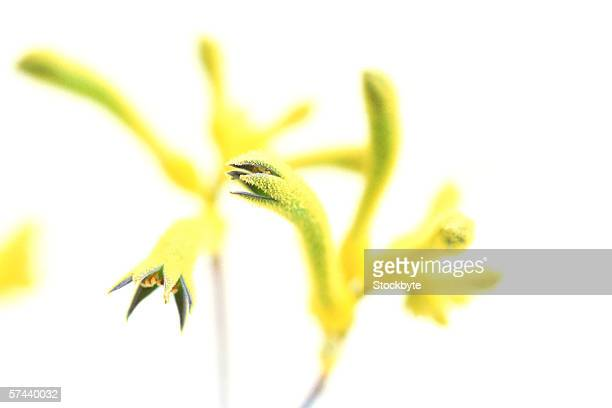 close-up of an exotic yellow flower - カリフォルニアバイケイソウ ストックフォトと画像
