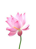 Close-up of an isolated pink bloomed lotus flower with stem