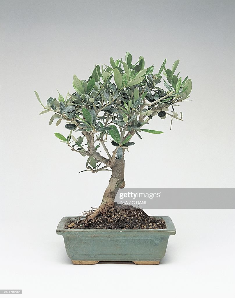 Close Up Of An Olive Bonsai Tree News Photo Getty Images