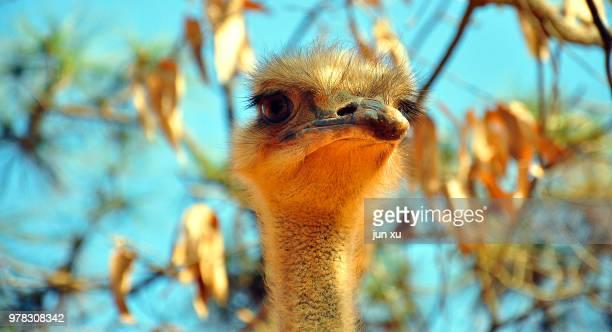 close-up of an ostrich in the sun - ostrich stockfoto's en -beelden