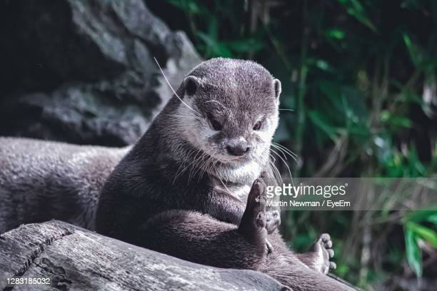 close-up of an otter ooking away - エセックス州 ストックフォトと画像