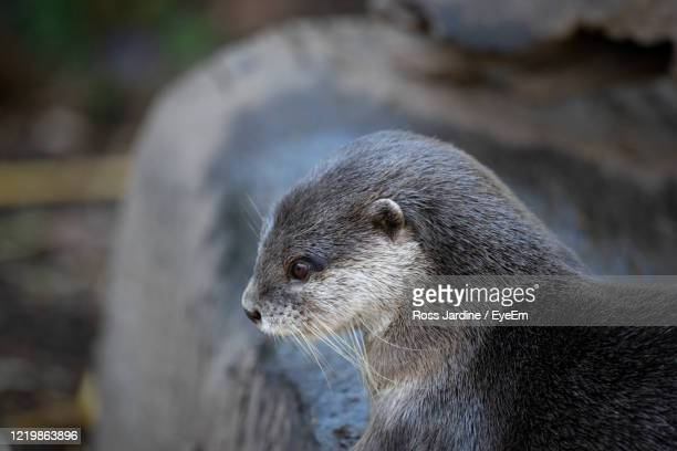 close-up of an otter - batemans bay stock pictures, royalty-free photos & images