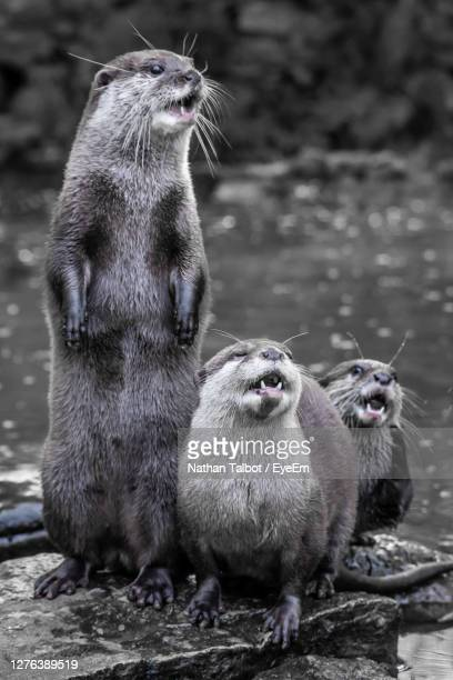 close-up of an otter - young animal stock pictures, royalty-free photos & images