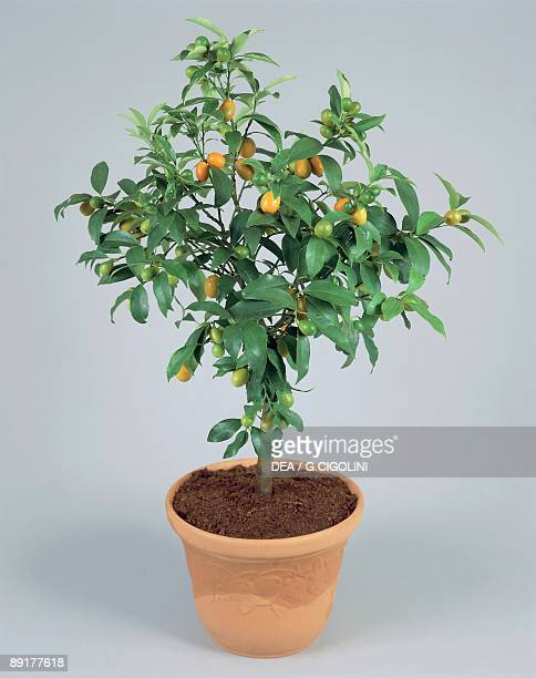 Close-up of an Oval kumquat plant