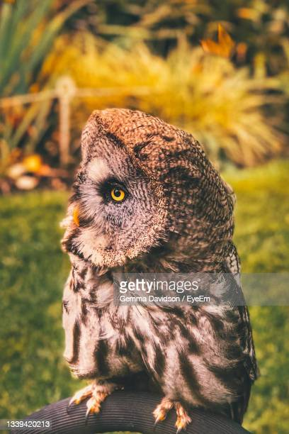 close-up of an owl looking away - wildlife stock pictures, royalty-free photos & images