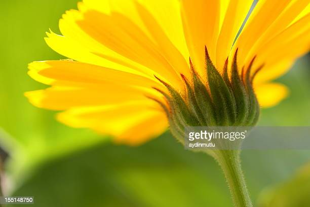 Close-up of an Yellow daisy