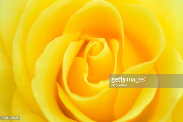 close-up of an yellow rose - yellow roses stock photos and pictures