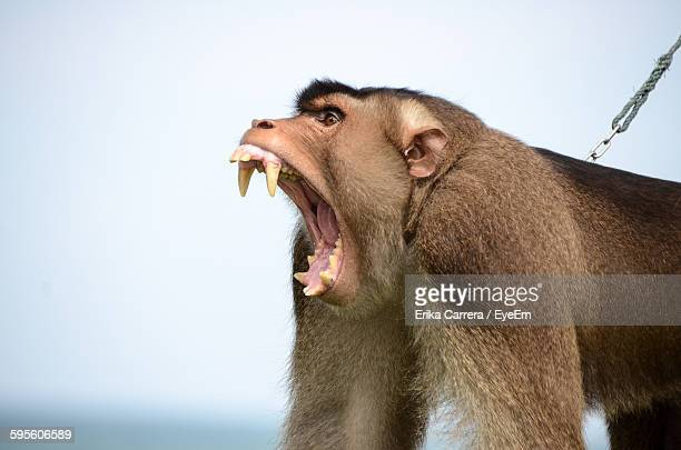 close-up of angry baboon - baboon stock pictures, royalty-free photos & images