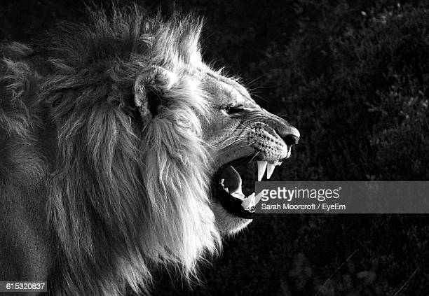 close-up of angry lion at forest - lion stockfoto's en -beelden