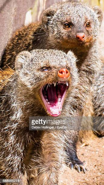 Close-Up Of Angry Mongooses