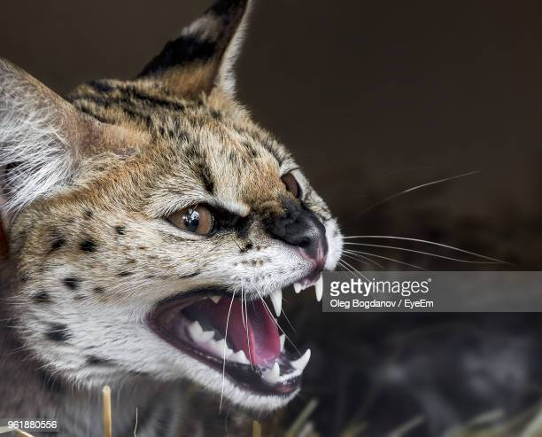 Close-Up Of Angry Serval