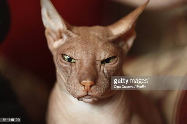 Close-Up Of Angry Sphynx Hairless Cat