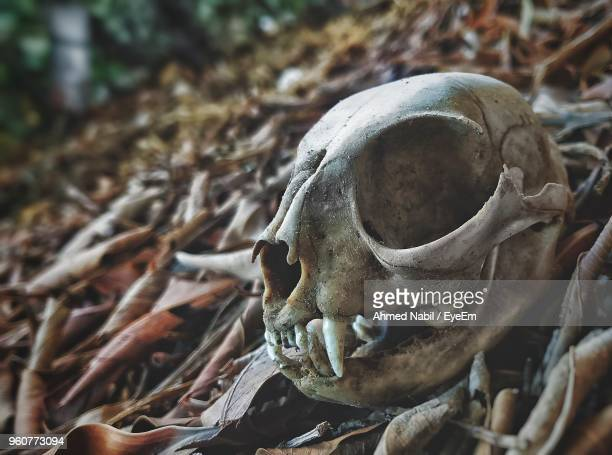 close-up of animal skull on field - animal skeleton stock photos and pictures