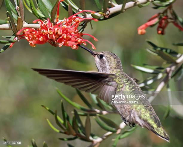 close-up of annas hummingbird on tree,united states,usa - anna's hummingbird stock pictures, royalty-free photos & images
