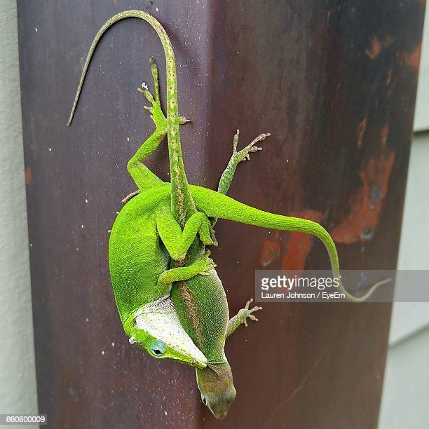 close-up of anole lizards mating on wood - lauren wooden johnson stock photos and pictures