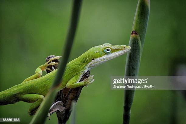 close-up of anole on plant - anole lizard stock pictures, royalty-free photos & images